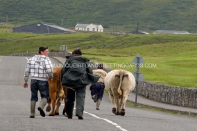 cows doolin-WM