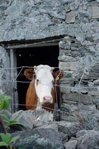 cow inish-WM